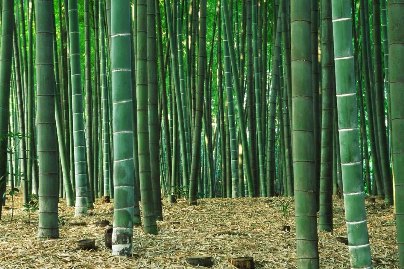 bamboo tea hair growth